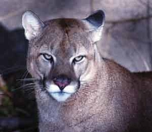 Photo courtesy Arizona Game and Fish  Mountain lions, also known as cougars and pumas, are powerful predators.