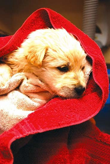 <i>Courtesy photo</i><br> Chance the Puppy was rescued on Dec. 10 after being thrown out of a moving vehicle between Kayenta and Tuba City. Anyone with information is urged to notify the county at (928) 679-8756 or call the Flagstaff Police Department Silent Witness line at (928) 774-6111.