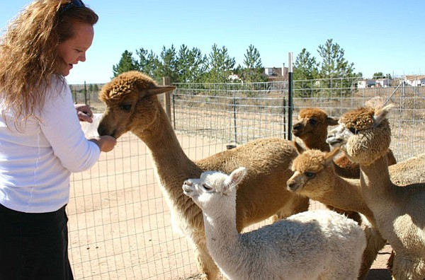 Trib Photo/Sue Tone<br> Peaceful Prairie Ranch alpaca farm owner Wendy Dittbrenner tells 2-month-old Starlight, center front, that she is still too young to eat the treat she offers the other alpacas.
