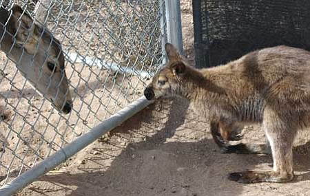 A mule deer and a new wallaby check each other out at the Heritage Park Zoological Sanctuary.<br> TribPhoto/Cheryl Hartz