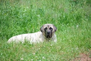 William Reed of Eureka, Calif. is searching for two Mastiffs that he said were stolen from his ranch. Brandy, above, is a 1-year-old female.<br> Courtesy Photo