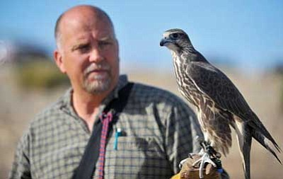 Master Falconer Gary Lollman shows off his 10-month-old Harris Hawk Isis Wednesday afternoon in Prescott Valley. Lollman has been a falconer for the past 30 years.<br> Photo courtesy of Matt Hinshaw/The Daily Courier