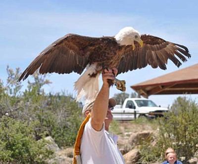 "Bob Fox of Wild at Heart raptor rehab in Cave Creek allows ""Dugas,"" a rehabilitated bald eagle, to stretch his wings before release Monday at Watson Lake.<br> TribPhoto/Heidi Dahms Foster"
