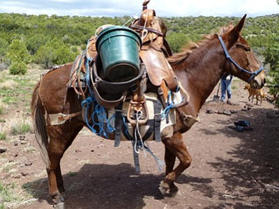 Renamed McCabe, this Molly mule substitutes as the new Dewey-Humboldt Historical Society's mascot. The 16-year-old pack mule belongs to Kevin Leonard who says she's in her prime as mules live to be 30 or older.<br> Courtesy Photo