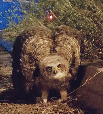 This Great Horned owl youngster had exited its nest near Glassford Hill Rd. and was sitting in the middle of the roadway when passersby shooed it to the curb. A bird handler, with the help of CYFD, put the owl back in its nest.<br> Photo courtesy Richard Haddad