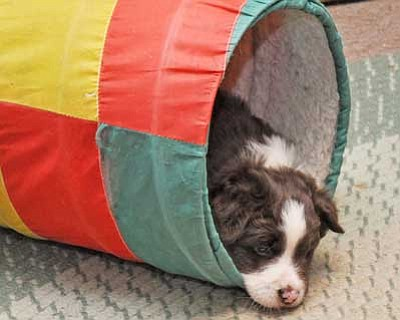 This might be a little young for the agility tunnel, but you get the picture! Have fun with your dog! <br>Photo by Heidi Dahms Foster