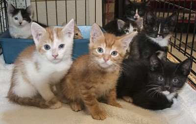 United Animal Friends is reducing adoption fees for cats and kittens through July 31.  Potential adopters can visit cats at Kitty City in the Prescott Petco. For more information, please call UAF at 778-2924.<br> Courtesy photo