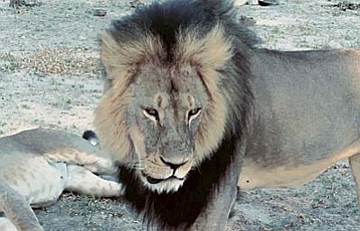 Paula French via AP<br /><br /><!-- 1upcrlf2 --><br /><br /><!-- 1upcrlf2 -->In this image taken from a November 2012 video made available by Paula French, a well-known, protected lion known as Cecil strolls around in Hwange National Park, in Hwange, Zimbabwe. Zimbabwe's wildlife minister says extradition is being sought for Walter Palmer, the American dentist who killed Cecil.