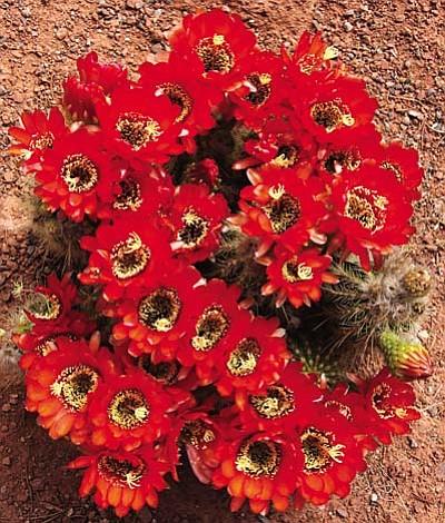 Courtesy of Gerry Snyder<br /><br /><!-- 1upcrlf2 -->Native Hedge Hog cactus in full bloom. .