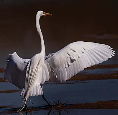 Great White Egret, by Ted Grussing