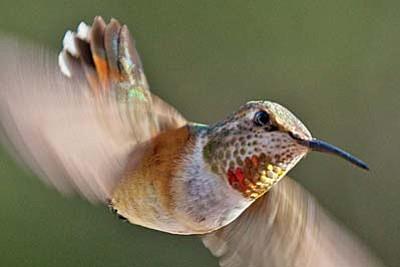 Greg Lawson Gallerieswelcomehummingbird season andthe Sedona Hummingbird Festival with imagescelebrating the small birdsembodying love, beauty, and lightness of being.
