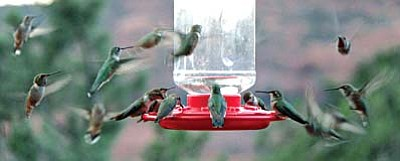 Hummers in a feeding frenzy. Photo by Gerald Snyder