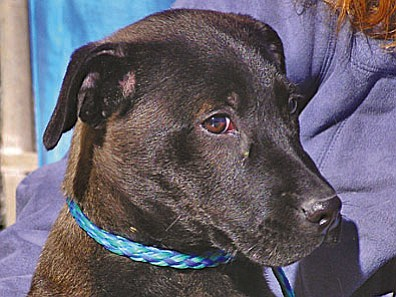 "The Verde Valley Humane Socierty ""Pet of the Week"" is ""Quasi.""  He is a young lab mix with tons of personality. He's so sweet and so eager to get a new home.  Quasi wants to run in a yard and lick someone's face every day. Quasi may never get very large, but his heart is huge.  His adoption fee has been discounted by $20 thanks to some true ""animal angels."""