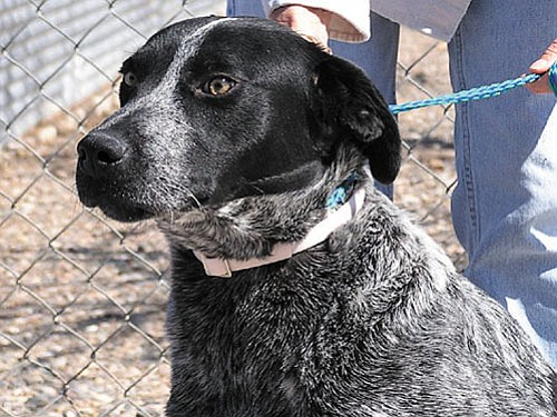 "Our ""Pet of the Week"" is going to be ""Rider.""   He is a very sweet Heeler mix that's a little shy until you spend some time talking to him.  Once he gets to know you a little bit, you become his best friend.  Rider just wants to be loved and by the way, he thinks a belly rub is pretty fantastic. Rider's adoption fee has been discounted by $15 thanks to our wonderful ""Animal Angels."""