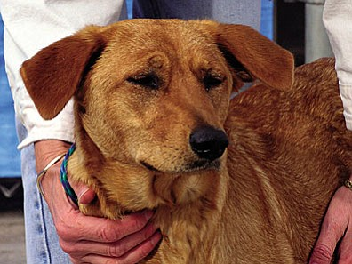 "The Verde Valley Humane Society's ""Pet of the Week"" is ""Goldie,"" a little Shepard/Retriever mix. Goldie gave birth to 10 puppies 10 days after she arrived at VVHS.  She has been an excellent mom to all of her babies but is very glad that her pups are now weaned. Goldie is such a sweet petite girl. She is well mannered and just wants to be loved.  Her adoption fee has been discounted by $40 thanks to some generous ""Animal Angels"" in the Verde Valley."