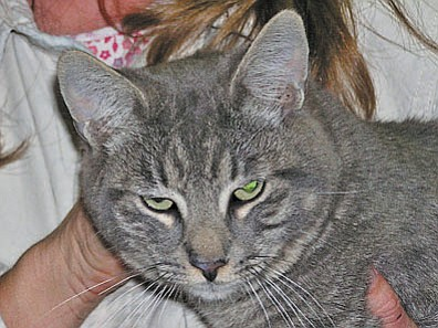 "The Verde Valley Humane Society's ""Pet of the Week"" is ""Tristan.""  He is a beautiful grey tabby, medium in size. His beautiful green eyes will steal your heart.His adoption fee has been discounted by $20 thanks to our ""Animal Angels"" that help us each month. Stop in the shelter located at 1502 W. Mingus and meet all of our wonderful animals. Visit our website at vvhs.net to have a look at all of our available animals."