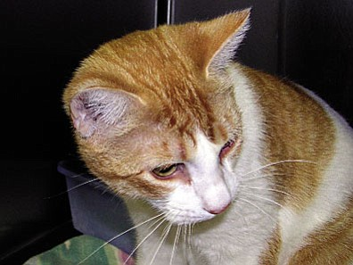 "The Verde Valley Humane Society ""Pet of the Week"" is going to be O.J., a short-haired adult male cat. This cute little guy seems to be waiting patiently for the right person to walk in the door.  He is neutered and ready to go home with you today. O.J. promises he won't be much trouble and that his grooming will be minimal. His adoption fee has been discounted by $15 thanks to some very generous ""Animal Angels."""