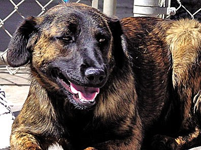 """The Verde Valley Humane Society """"Pet of the Week"""" is """"Mandy.""""  She is a beautiful adult female Shepherd mix with a very mild temperament.  She is very laid-back and good with everyone. Mandy waits very patiently for the right person to walk into the shelter.  Could that person be you? Mandy's adoption fee has been discounted by $20 thanks to our very generous """"Animal Angels."""" Please stop in the shelter located at 1502 W. Mingus and pick up your spay/neuter application."""