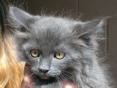 "Nakita a beautiful female ""Russian Blue"" kitten is the Verde Valley Humane Society Pet of the Week.  She's been with us a long time and patiently awaits her new home.  Her adoption fee has been discounted by $15 thanks to our Animal Angels."