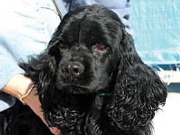 """The Verde Valley Humane Society """"Pet of the Week"""" is going to be a beautiful black Cocker Spaniel named """"Inky."""" She is a smaller Cocker and seems to be a purebred.  She waits patiently for her walks with our volunteers, but really wants a new home. Inky and all of the other animals have had their adoption fees discounted by $20. Please stop in the shelter located at 1502 W. Mingus and find your new furry best friend today."""