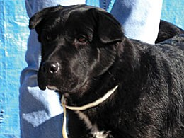 """The Verde Valley Humane Society """"Pet of the Week"""" is a beautiful young lady named """"Judy."""" She is a black lab mix that will just steal your heart. Not only is Judy sweet, she loves to walk on a leash. Stop by VVHS, located at 1502 W. Mingus and meet this lovable sweetheart. The spay/neuter portion of Judy's adoption fee has been discounted by $20 thanks to a new grant from Pedigree."""