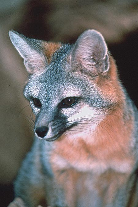 Courtesy of Arizona Game and Fish This year Arizona has seen 17 rabies cases involving the gray fox, six of which were in Yavapai County. Last year the state set a record with 176 confirmed cases statewide, more than half of which involved bats. This year the state is on course to break that record again with 52 rabies cases confirmed in the first 10 weeks.