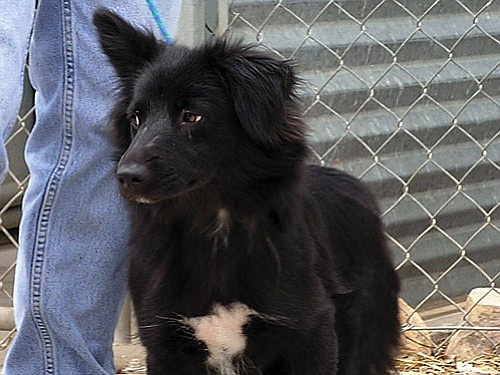 "The Verde Valley Humane Society ""Pet of the Week"" is ""Hilda"" a petite, young border collie mix. She is very friendly and waiting patiently for her new home. Her heart is as big as the yard she would love to run and play in. Hilda's spay portion of the adoption fee has been discounted by $65 thanks to a grant from the Arizona Companion Committee which is a result of you purchasing pet friendly license plates. All of the animals have discounted fees thanks to this grant. Stop by the shelter at 1502 W. Mingus and meet Hilda and all of the other wonderful animals waiting for homes."