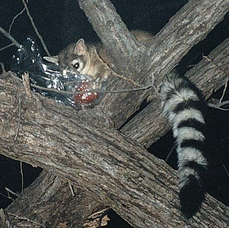 Pine Mountain is home to an abundant array of wildlife, including the curious, adorable and always-looking for-a-free-meal, ringtail cat.