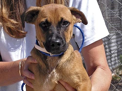 """The Verde Valley Humane Society's """"Pet of the Week"""" is """"Mikey,"""" a young Boxer/Shepherd mix that has been at VVHS since August. This sweet little guy is spending his puppy days in a kennel, behind bars. Mikey's adoption fee has been discounted by $20 thanks to our generous sponsors."""