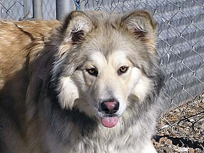 """The Verde Valley Humane Society """"Pet of the Week"""" is Prince, a beautiful adult male Collie/Husky mix.  He is a great guy in need of his forever home. Thanks to Geronimo and Dakota his adoption fee has been discounted by $30 so he can find a home as wonderful as they do."""