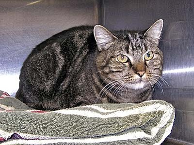 "The Verde Valley Humane Society ""Pet of the Week"" is ""Sweetie"" a beautiful female tabby cat.  Sweetie loves attention and would be a great lap warmer on these chilly wet days and nights. Sweetie's adoption fee has been discounted by $20 thanks to our generous donors.  Stop in the shelter located at 1502 W. Mingus Ave."