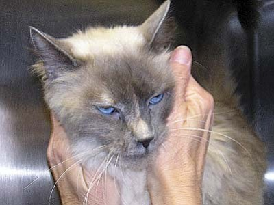 """The Verde Valley Humane Society """"Pet of the Week"""" is """"Bailey,"""" a beautiful female Siamese mix. She is approximately 3 years old with beautiful electric blue eyes. The adoption fee for Bailey has been discounted by $20."""