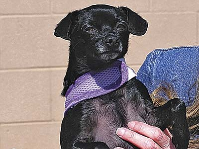 "The Verde Valley Humane Society ""Pet of the Week"" is ""Gracie,"" a sweet little Chihuahua.  Gracie had to be given up by her owner because the other dogs in the house weren't very nice to her.  The parting was very emotional for all of us. Her adoption fee has been discounted by $20."