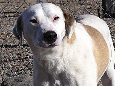 "The Verde Valley Humane Society ""Pet of the Week"" is ""Swisha"" a very gentle female pit mix. Swisha is very quiet and always a happy girl. Swisha is very friendly and gets along well with other animals. Her adoption fee has been discounted by $20 thanks to our generous donors."