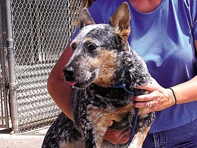 "The Verde Valley Humane Society ""Pet of the Week"" is ""Izzy"" a beautiful female Queensland Heeler. Her family was forced to give her up due to an economic crisis in their family.  Izzy is a very special dog with a little bit of a special need.  She is deaf and needs a family that will appreciate her as her previous family did. Come meet Izzy and the rest of the animals waiting for new homes.  Her adoption fee has been discounted by $20 thanks to our generous donors."