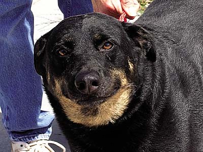 "The Verde Valley Humane Society ""Pet of the Week"" is a 3-year-old female Rottie mix named ""Roxy."" Roxy isn't a lap dog.  She believes that if you sit somewhere that she can fit right there too. Roxy's adoption fee has been discounted by $20 thanks to her new friends Sparky and Dewey."