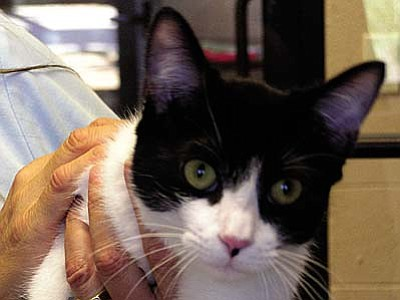 "The Verde Valley Humane Society Pet of the Week is a beautiful young cat named ""Athena.""  She loves people and attention. She has quite the little personality too.  Of course Athena's adoption fee has also been discounted to half price."
