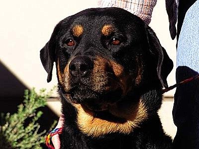 """The Verde Valley Humane Society """"Pet of the Week"""" is our gorgeous big girl """"Candy."""" She is a Rottie mix that is very large in size.  Candy is very well mannered and gets along with other animals and humans. All dogs have been sponsored by $20 and all cats by $10."""