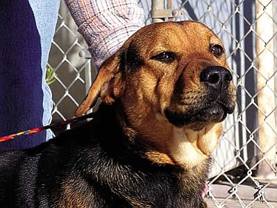 """The Verde Valley Humane Society Pet of the Week is """"Happy,"""" a beautiful Rottie/Sheperd mix. He's very friendly, loves everyone, and is always ready for some activity.  Happy loves to take walks and play.  He definitely lives up to his chosen name. Happy's adoption fee has been discounted by $20."""