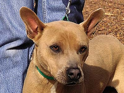 "The Verde Valley Humane Society Pet of the Week is ""Blue,"" a lab/pit mix full of life and energy.  Blue is energetic but calms down quickly once he is out of his kennel.  He loves walks and attention. His adoption fee has been discounted by $20."