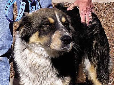 The Verde Valley Humane Society Pet of the Week is Rudy, a beautiful Australian Shepherd mix.  Rudy is well behaved and loves to go for walks. Rudy's adoption fee has been discounted by $20 thanks to our generous supporters.