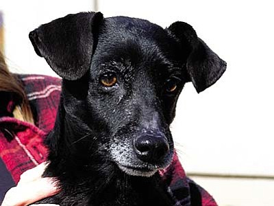 """The Verde Valley Humane Society Pet of the Week is """"Jack,"""" a little Jack (Parson) Russell Terrier. This little guy is 10 years old and has the spunk of a four-year-old. Jack has an adoption fee of $70 plus his license fee."""