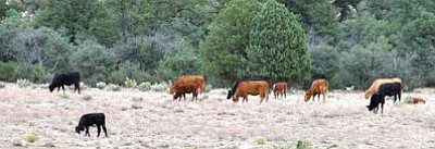 A herd near the Granite Dells in Prescott.