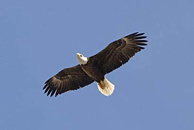 The Center for Biological Diversity has taken the U. S. Fish and Wildlife Service to court four times advocating for Arizona's bald eagles. And although they have successful in staving off flawed decisions made by the agency, the matter of whether or not the eagles will regain their status as threatened or endangered has yet to be settled.