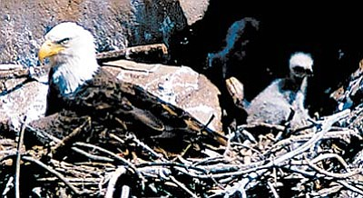 Federal Judge William Campbell has ruled that Arizona's desert nesting bald eagles will remain off the endangered species list, at least until the U. S. Fish & Wildlife Service completes its court-ordered review of a previous decision that would remove the birds permanently.