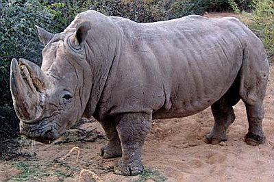 Boom Boom, the 5,000-pound white rhinoceros that made Out of Africa Wildlife Park his home in 2006, after being rescued from a Texas hunting reserve, was euthanized last Thursday after a battle with cancer. He was 41 years old.