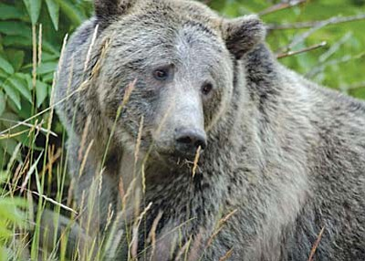A grizzly bear in Yellowstone National Park. A conservation group has petitioned the Fish and Wildlife Service to consider reintroducing grizzlies in Arizona and other parts of the Southwest, (Photo by Terry Tollefsbol/U.S. Fish and Wildlife Service)