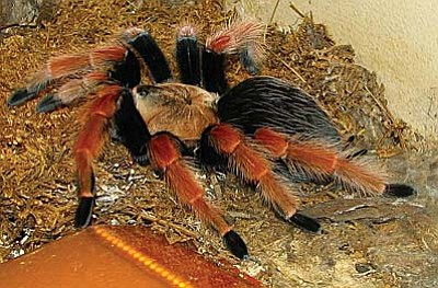 Sometimes tarantulas wander Jerome's streets and sidewalks during summer monsoon season. As menacing as they look, they are harmless. Please don't harm them.  (Photo courtesy Wikimedia Commons, a free public domain site)
