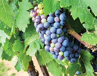 The grapes will be harvested in about two weeks at the Javelina Leap Vineyard and Winery in Page Springs, according to owner Rod Snapp on Monday. VVN/ Vyto Starinskas