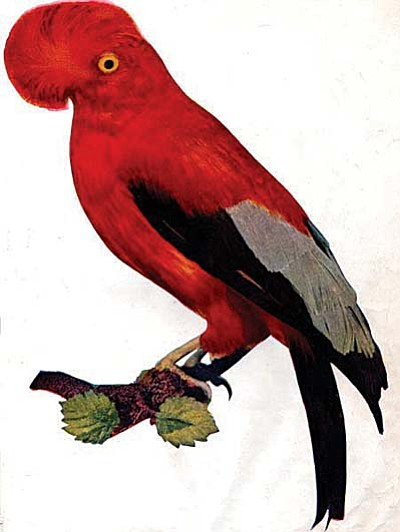 The cock-of-the-rock is the national bird of Peru. Jo van Leeuwen of Jerome, Arizona proposed that the bird be adopted as the mascot for the Leaverite Society of America in Jerome AZ. Image is in the public domain. See: http://www.gutenberg.org/files/30221/30221-h/30221-h.htm From a free e-book, Birds: illustrated by Color Photography first published in 1897 by the Nature Study Publishing Company, Chicago, IL. Book is on-line and the photographs of birds and their descripts are beautiful.